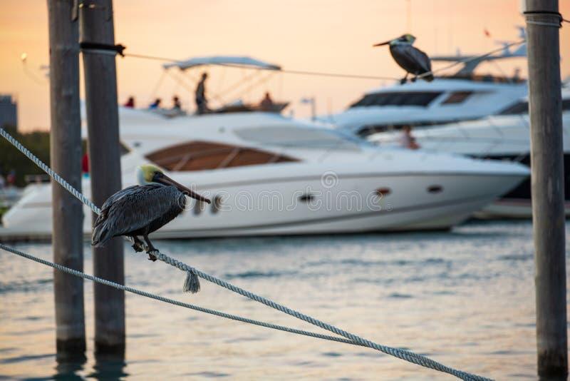 De bruine Pelikanen hebben een rust royalty-vrije stock afbeelding