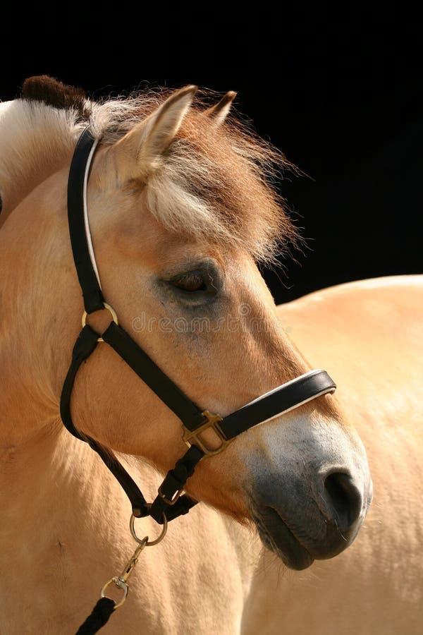 De bruine poney van de dunfjord royalty-vrije stock afbeeldingen