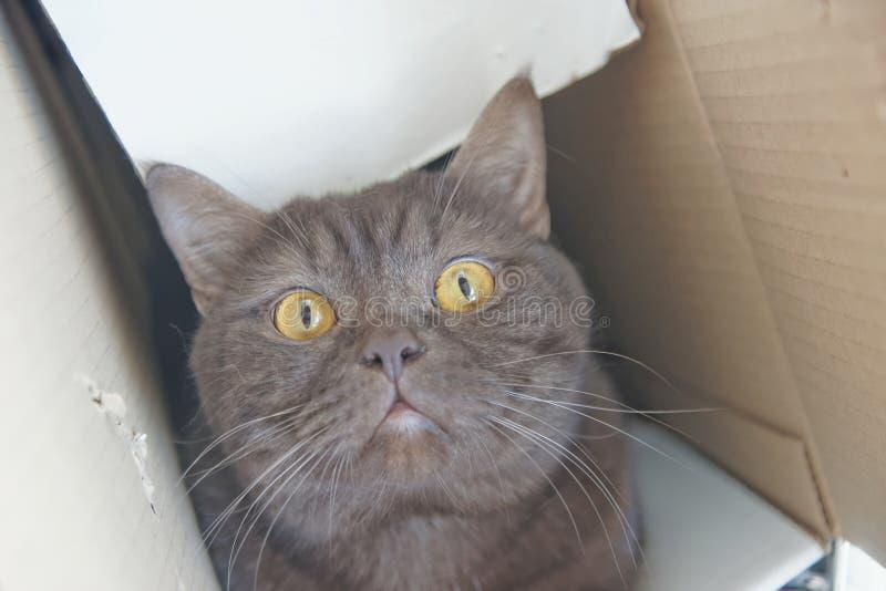 De bruine rechte kat van chocoladescotty beklom in een smalle kartondoos en gluurt uit het royalty-vrije stock fotografie