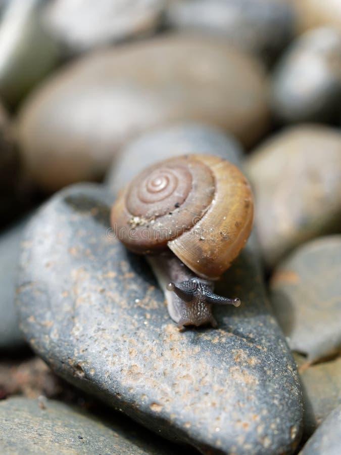 De bruine slak, dietot zijn slijm wordt gebruikt om gezichtsmasker te maken, met spiraalvormige shell kruipt in de tuin royalty-vrije stock foto