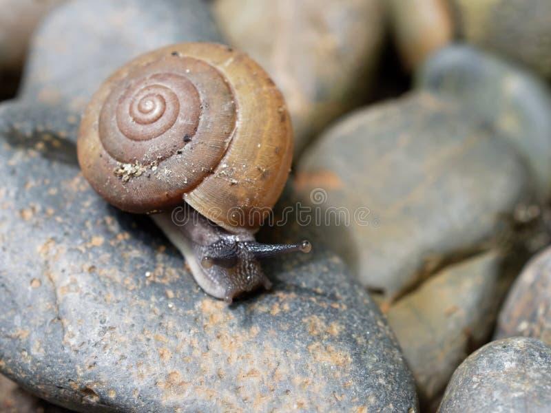 De bruine slak, dietot zijn slijm wordt gebruikt om gezichtsmasker te maken, met spiraalvormige shell kruipt in de tuin stock foto's