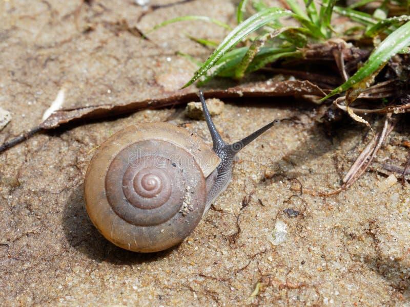 De bruine slak, dietot zijn slijm wordt gebruikt om gezichtsmasker te maken, met spiraalvormige shell kruipt in de tuin royalty-vrije stock afbeeldingen