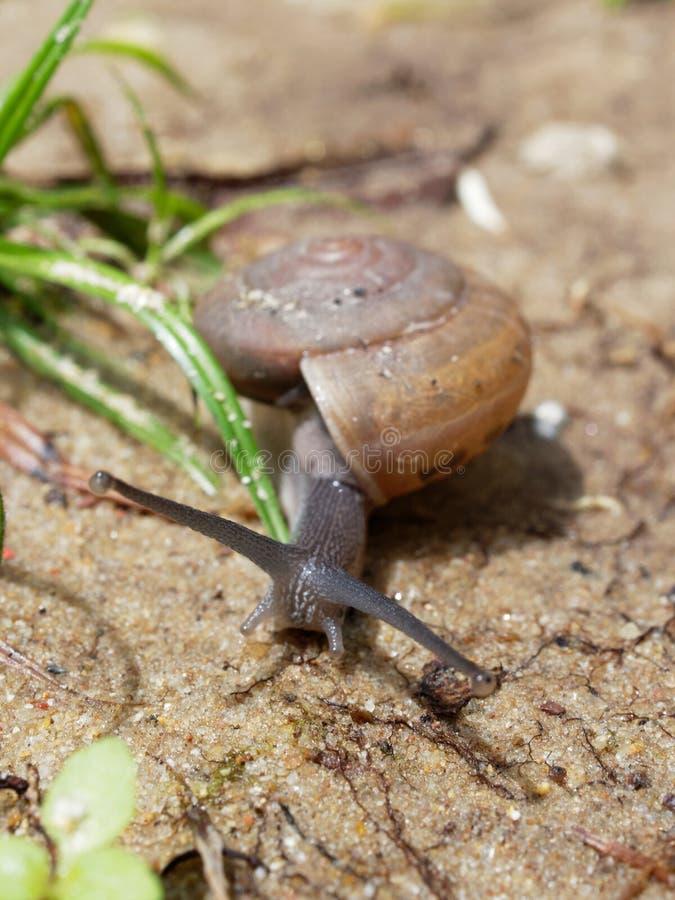 De bruine slak, dietot zijn slijm wordt gebruikt om gezichtsmasker te maken, met spiraalvormige shell kruipt in de tuin stock afbeelding