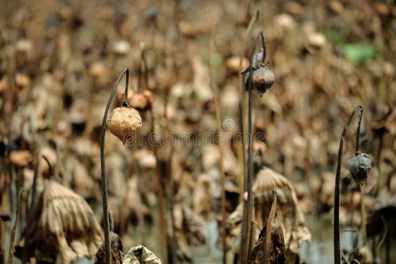 De bruine stammen van dode en droge lotusbloeminstallaties tijdens de winter in Th stock foto