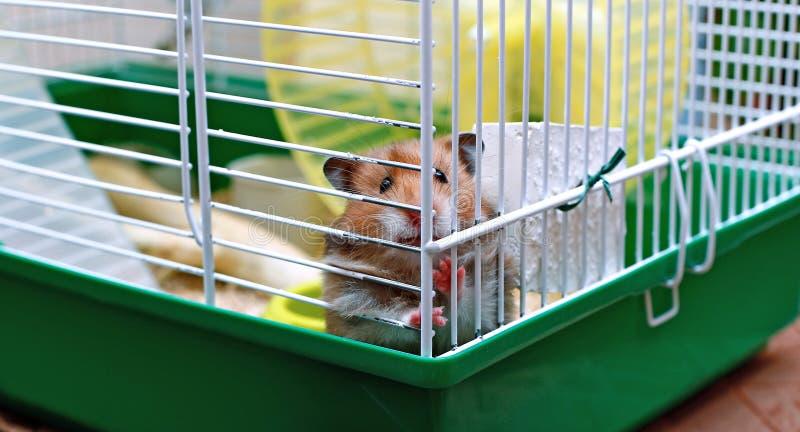 De bruine Syrische hamster knaagt aan binnen een kooi royalty-vrije stock afbeelding