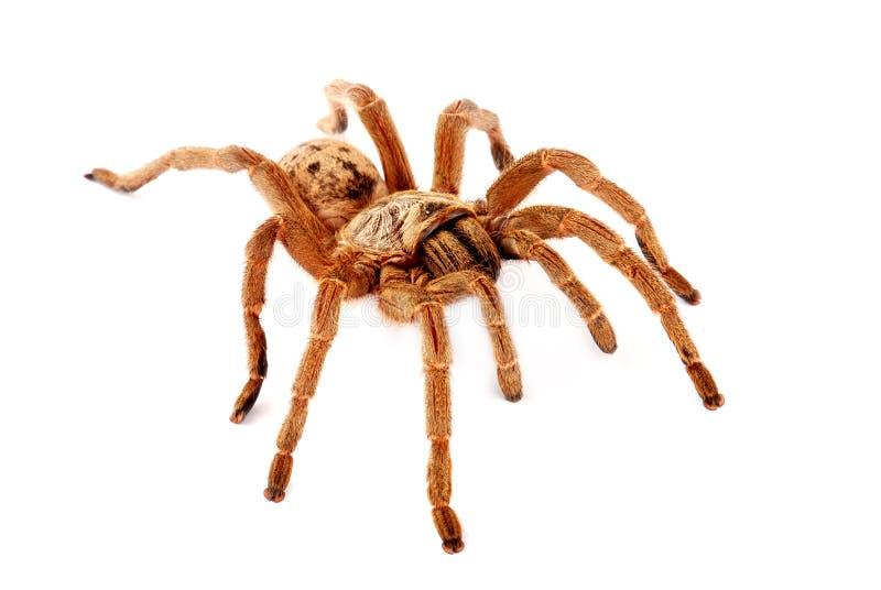 De bruine Tarantula van de Baviaan. royalty-vrije stock afbeelding