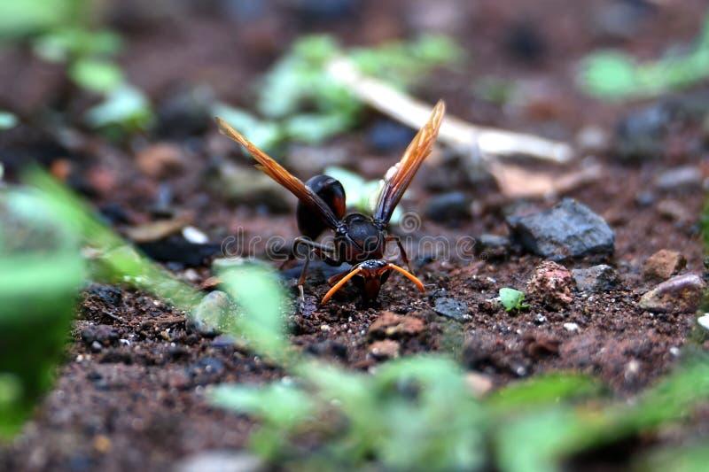 De bruine wespen zijn ter plaatse neergestreken royalty-vrije stock afbeelding