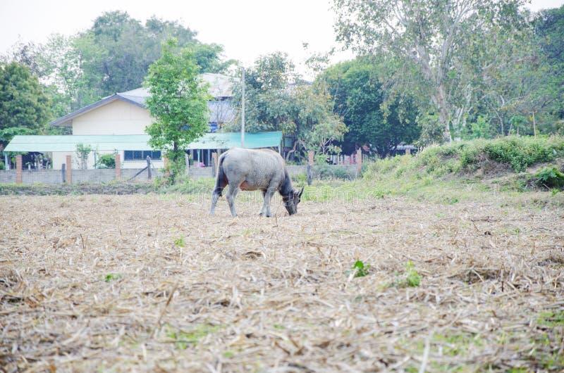 de buffel eet het gras stock fotografie