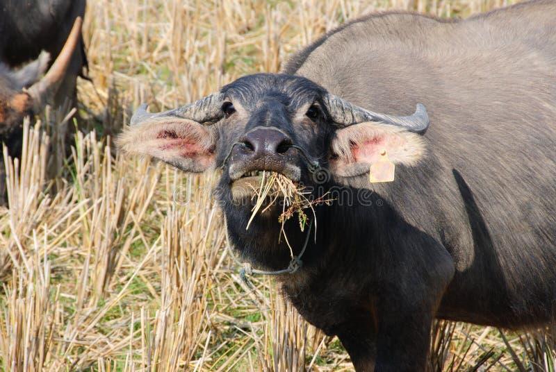 De buffel eet hooi bij padieveld stock foto's