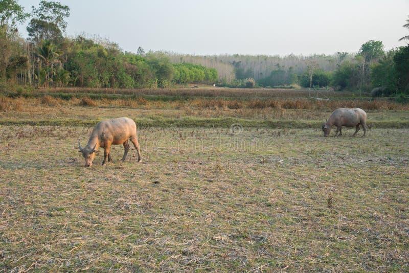 De buffels op het gebied royalty-vrije stock afbeelding