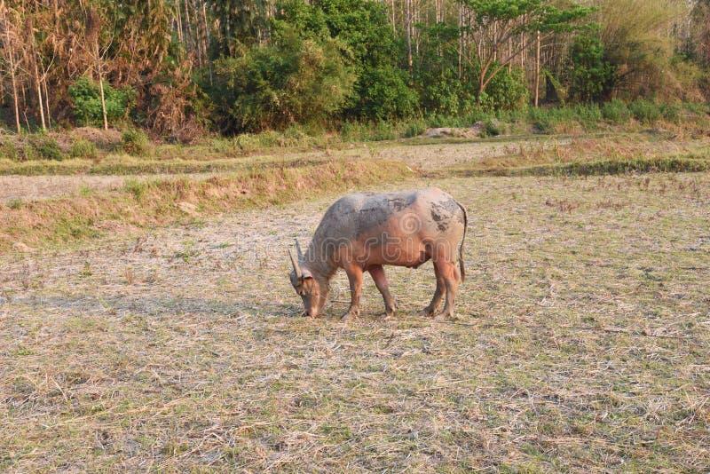 De buffels op het gebied royalty-vrije stock fotografie
