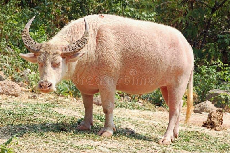 De buffels van de albino royalty-vrije stock afbeeldingen
