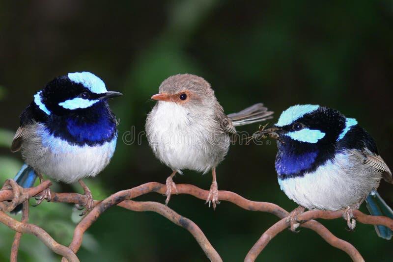 De buitengewone Blauwe Winterkoninkjes van de Fee