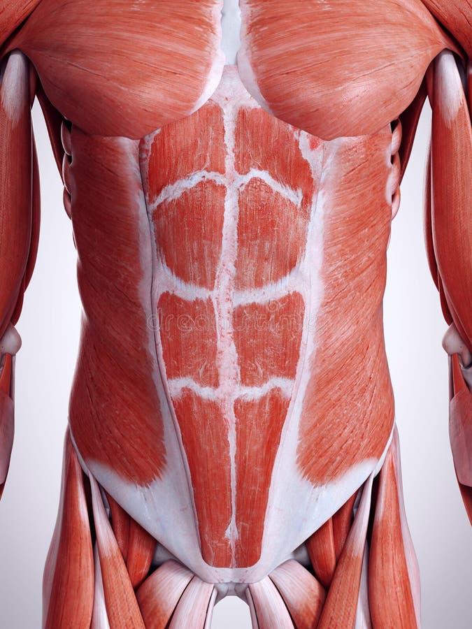 De buk- musklerna royaltyfri illustrationer
