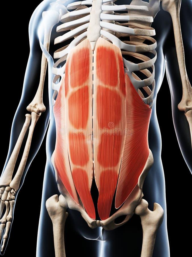 De buk- musklerna vektor illustrationer