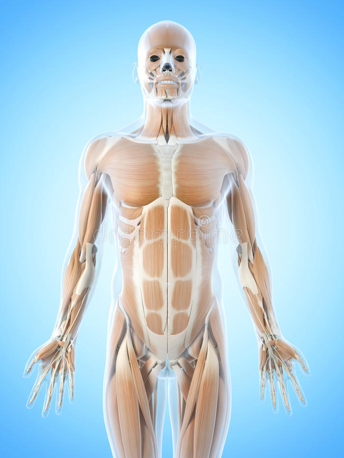 De buk- musklerna stock illustrationer