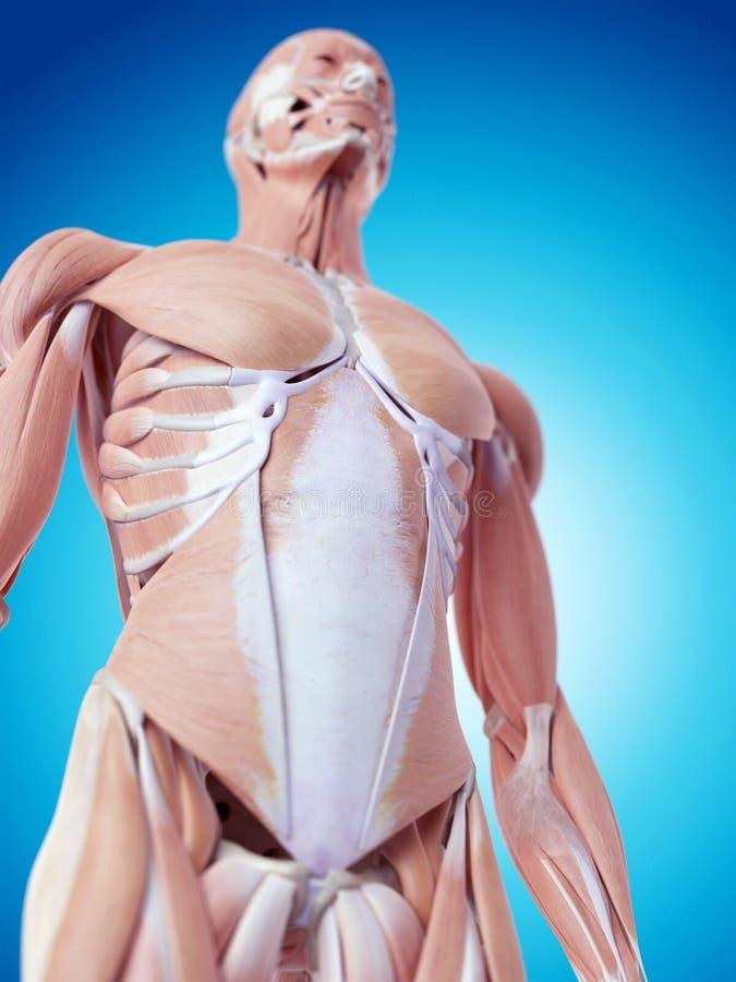 De buk- musklerna royaltyfria foton