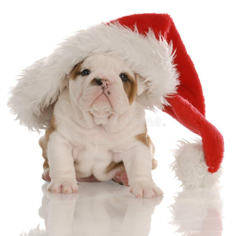 De buldog van Kerstmis stock foto