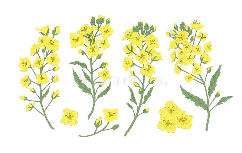 De bundel van elegante botanische tekeningen van bloeiende raapzaad, canola of mosterd bloeit Reeks van gewas of gecultiveerde in vector illustratie