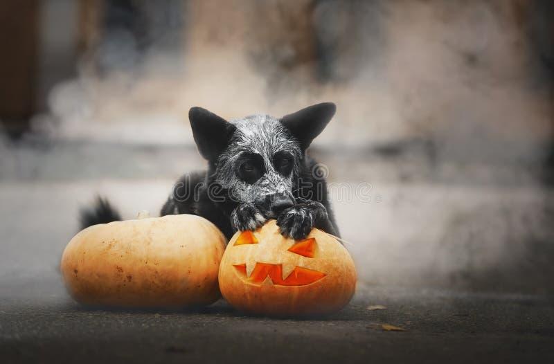 31/5000 de cão tykvoy do dymu A do poziruyet s v de Sobaka que levanta com uma abóbora no fumo fotos de stock