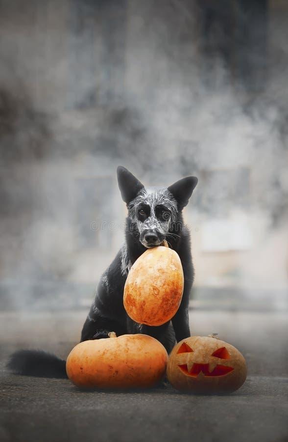 31/5000 de cão tykvoy do dymu A do poziruyet s v de Sobaka que levanta com uma abóbora no fumo fotografia de stock royalty free