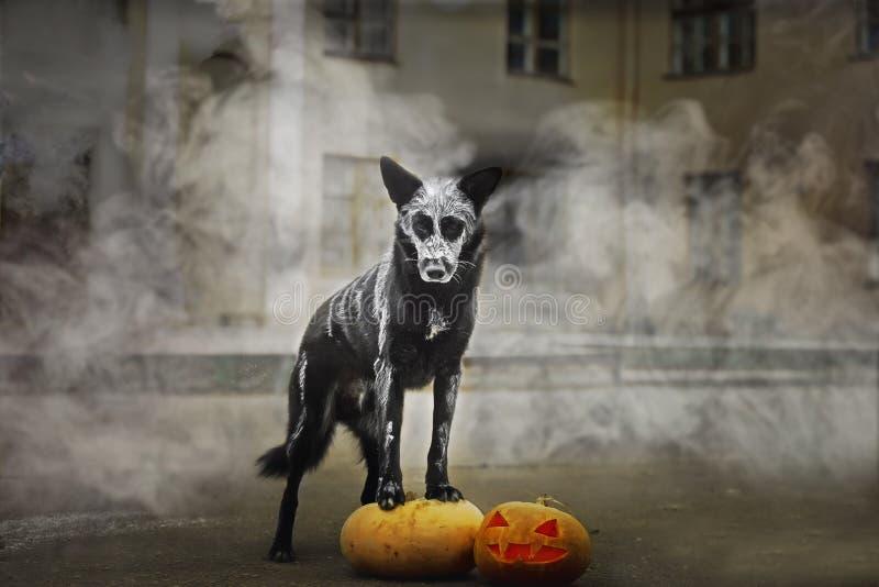 31/5000 de cão tykvoy do dymu A do poziruyet s v de Sobaka que levanta com uma abóbora no fumo fotografia de stock
