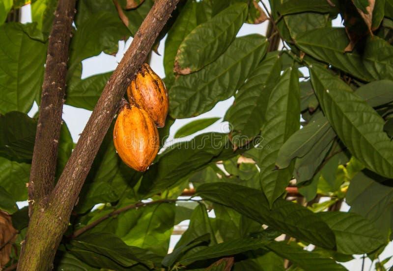 De cacaovruchten groeien op de boom royalty-vrije stock afbeeldingen