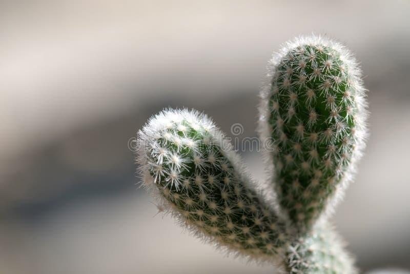 De cactus is als hrartvorm stock afbeelding