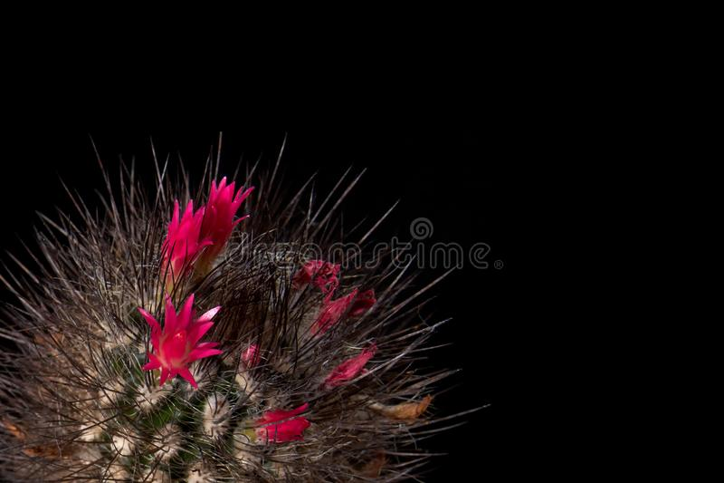 De cactus bloeit kleurrijke rode bloemen op zwarte achtergrond Het schitterende bloeien De kleur van de cactuschocolade met lange royalty-vrije stock foto