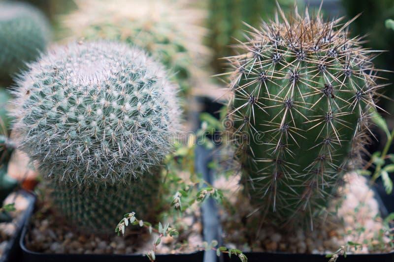 De cactus is een lid van de installatiefamilie Cactaceae een familie bestaand ongeveer uit 127 soorten met zowat 1750 bekende spe royalty-vrije stock afbeelding