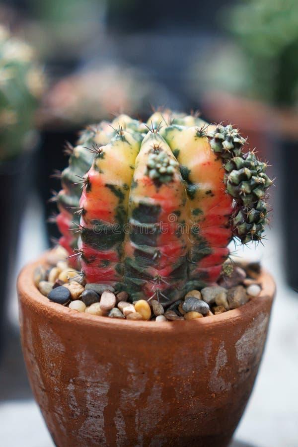 De cactus is een lid van de installatiefamilie Cactaceae een familie bestaand ongeveer uit 127 soorten met zowat 1750 bekende spe stock foto