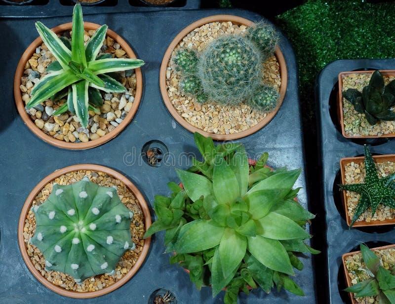 De cactus is een lid van de installatiefamilie Cactaceae een familie bestaand ongeveer uit 127 soorten met zowat 1750 bekende spe royalty-vrije stock fotografie
