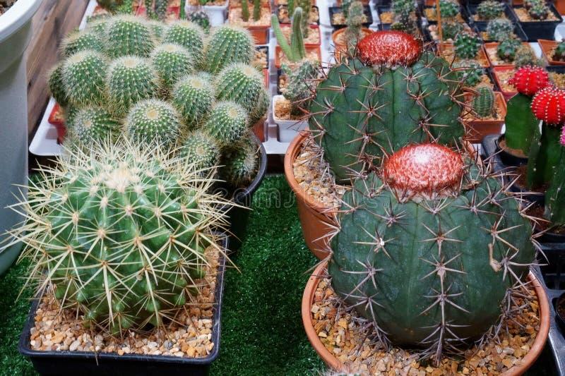 De cactus is een lid van de installatiefamilie Cactaceae een familie bestaand ongeveer uit 127 soorten met zowat 1750 bekende spe stock fotografie