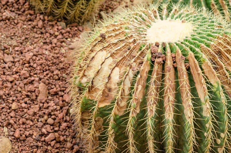 De cactus is een schimmelziekte, Roestcactus stock afbeeldingen