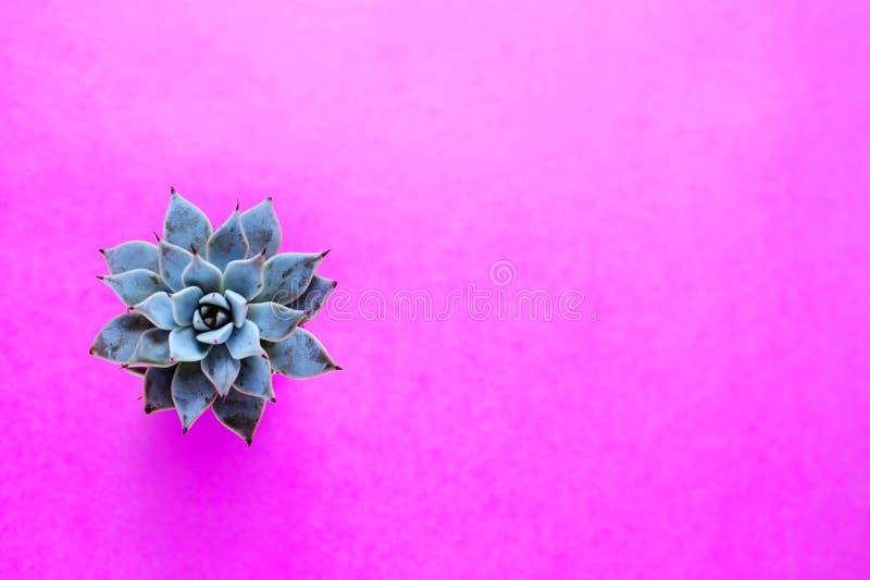 De cactus is een succulente installatie op een magenta achtergrond stock foto's