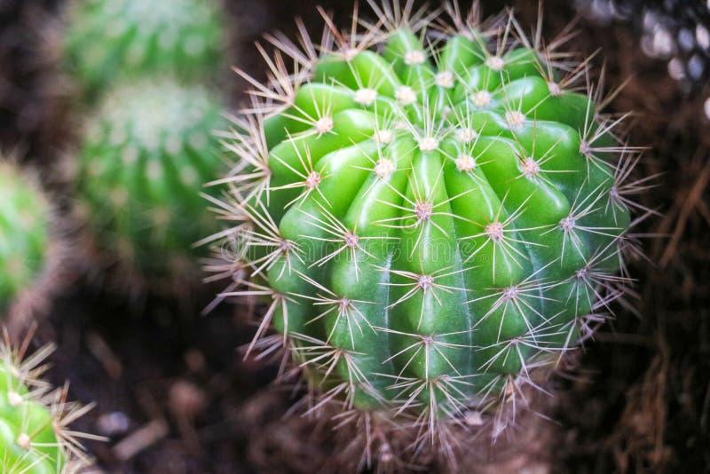 de cactus op vuilpot zette binnenshuis op terrarium aan decorbinnenland en bureau stock foto