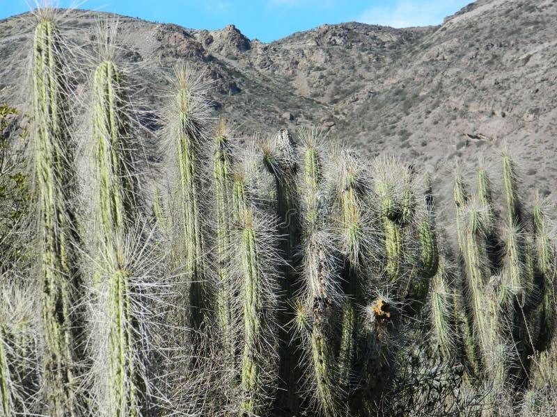 De cactus overleeft het gebrek aan water royalty-vrije stock afbeeldingen