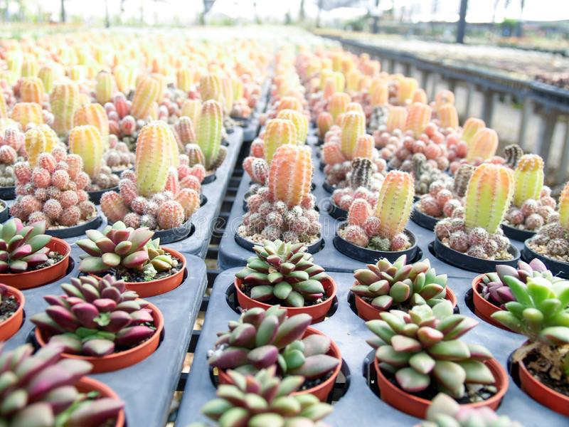 De cactus in de tuin stock afbeelding