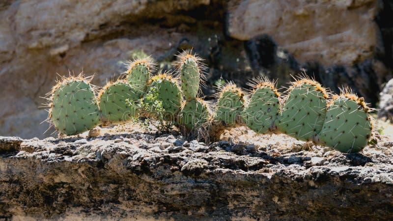 De Cactus van Arizona in het Zonlicht stock afbeeldingen