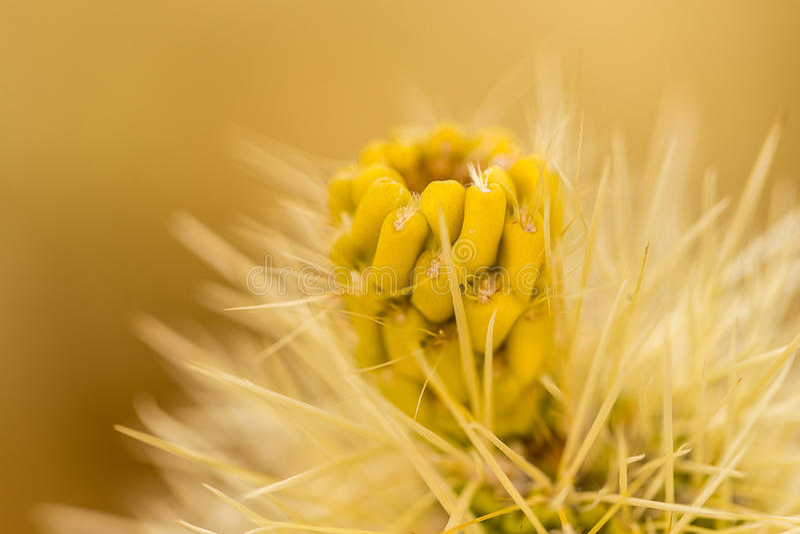 De Cactus van Cholla stock afbeeldingen