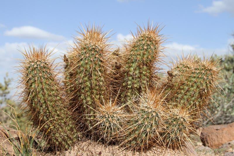 De cactus van de egel stock afbeelding