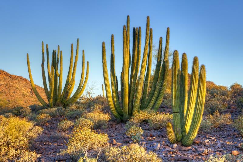 De cactus van de orgaanpijp stock foto's