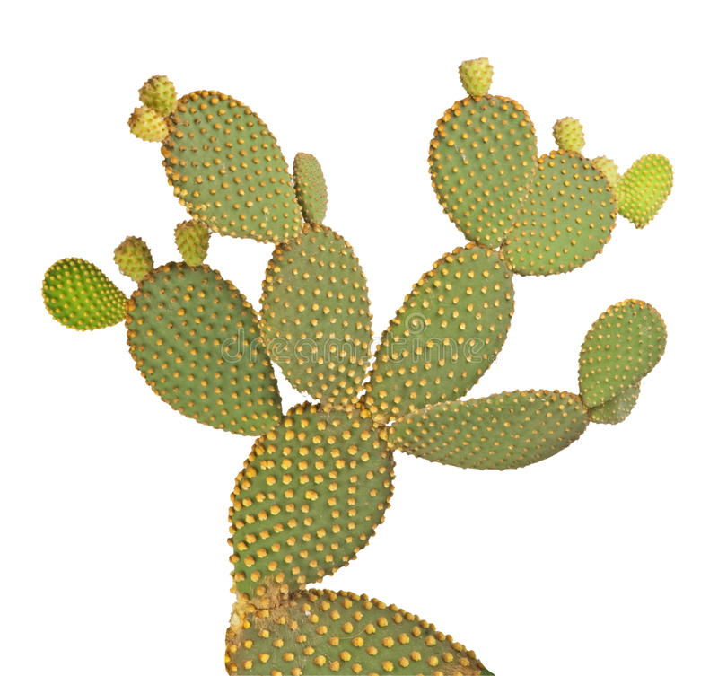 De cactus van de vijgencactus royalty-vrije stock afbeeldingen