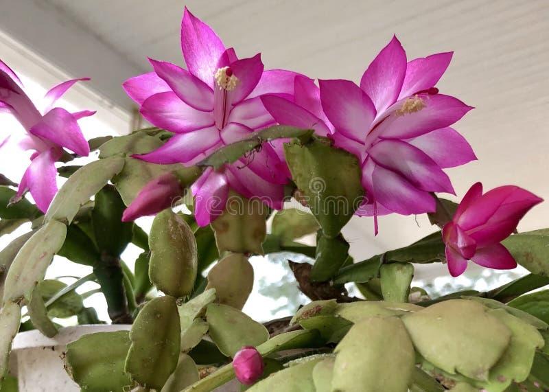 De Cactus van Kerstmis royalty-vrije stock foto