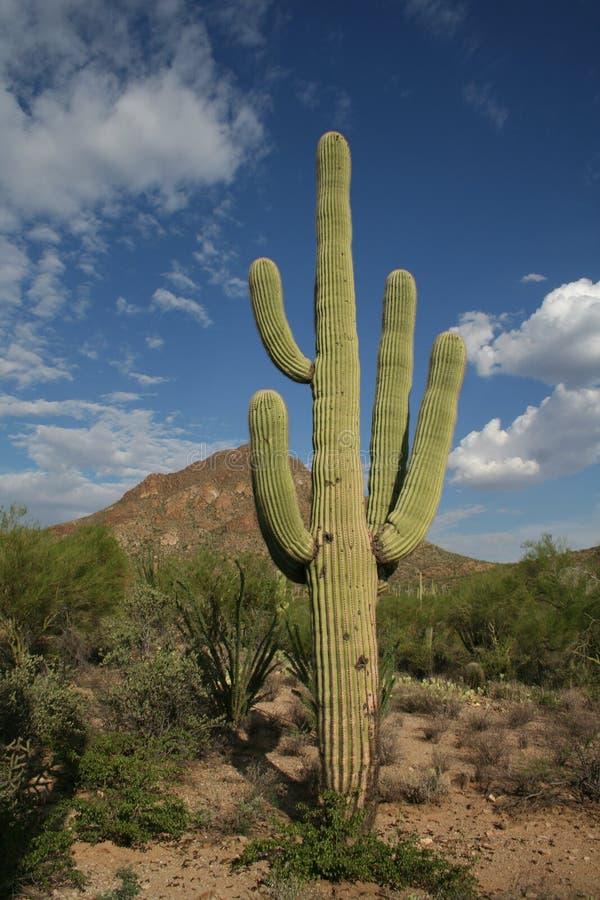 De cactus van Saguaro stock foto's