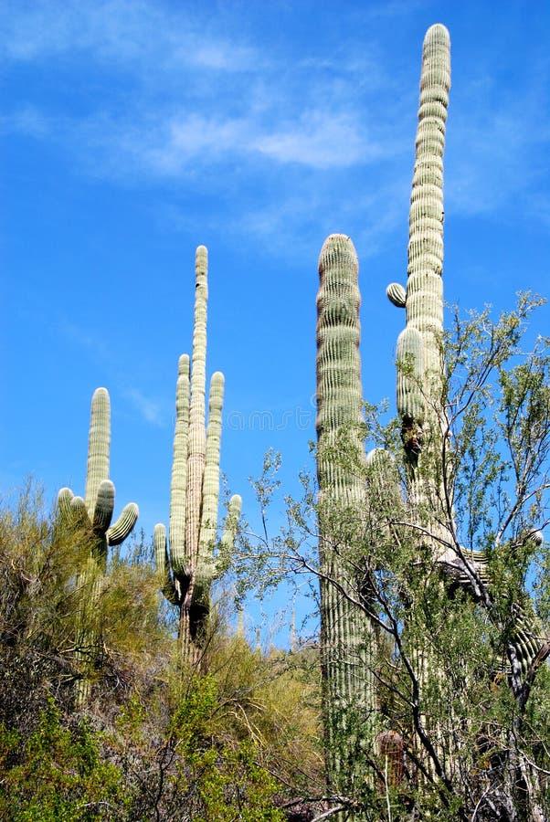De Cactus van Saguaro - Ineengestrengelde Wapens royalty-vrije stock afbeelding