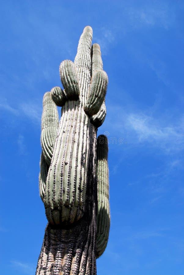 De Cactus van Saguaro - Ineengestrengelde Wapens stock foto