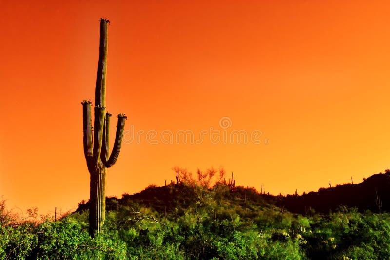 De cactus van Saguaro in infrared van de Woestijn Sonoma royalty-vrije stock foto