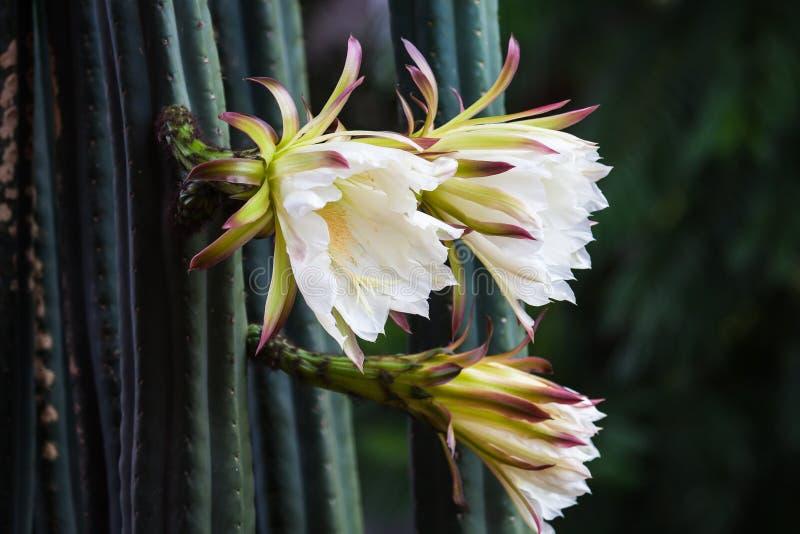 De cactusbloem van San Pedro met witte bloemblaadjes royalty-vrije stock afbeeldingen