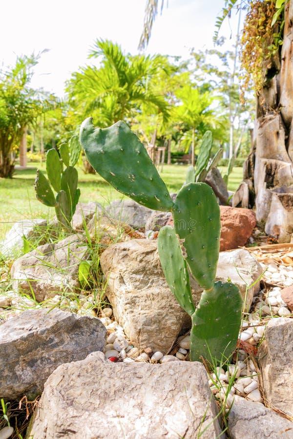 De cactusgroei in ministeen onder de boom royalty-vrije stock foto's